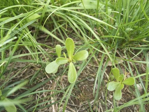 Portulaka v trávniku